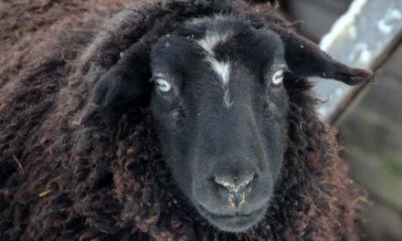 Ben jij het zwarte schaap? Van scapegoat tot golden child